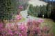 FIREWEED, MILES CANYON ROAD, WHITEHORSE
