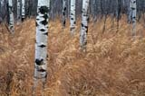 TRE ASP MIS  MB  IAW1608327DASPEN TRUNKS AND FALL GRASSESASSINIBOINE FORESTWINNIPEG                            10© IAN A. WARD                    ALL RIGHTS RESERVEDASPENS;ASSINIBOINE_FOREST;AUTUMN;FOREST;GRASS;MANITOBA;MB_;PLAINS;PRAIRIES;SCENES;TREES;WINNIPEGLONE PINE PHOTO              (306) 683-0889