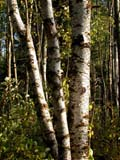 TRE BIR WHI  SK  CWN02D3842D  VTWHITE BIRCH TREES IN SUMMERDUCK MOUNTAIN PROV. PK  09/28© CLARENCE W. NORRIS      ALL RIGHTS RESERVED BIRCHES;BULLETINS;DUCK_MOUNTAIN_PP;PARKLAND;PLAINS;PLATEAU;PP_;PRAIRIES;SASKATCHEWAN;SK_;TREES;VTLLONE PINE PHOTO              (306) 683-0889