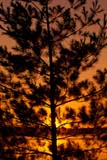 TRE SPR MIS  ON  JLB1600319D  VTSPRUCE TREE AT SUNSETQUETICO PROV PK                 06© JOHN L. BYKERK                ALL RIGHTS RESERVEDBOREAL;CENTRAL;EVERGREENS;ON_;ONTARIO;PP_;QUETICO_PP;SCENES;SHIELD;SILHOUETTE;SPRUCE;SUNSETS;TREES;VTLLONE PINE PHOTO              (306) 683-0889