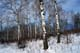 ASPEN FOREST IN SNOW, RIDING MOUNTAIN NATIONAL PARK