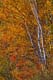 WHITE PAPER BIRCH IN AUTUMN, SANDILANDS PROVINCIAL FOREST