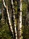 WHITE BIRCH TREES IN SUMMER, DUCK MOUNTAIN PROVINCIAL PARK