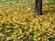 YELLOW AUTUMN LEAVES ON GRASS, SASKATOON