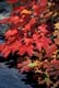 SCARLET MAPLE LEAVES IN FALL, OSHAWA