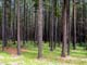 LODGEPOLE PINES, CYPRESS HILLS INTERPROVINCIAL PARK