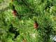 LODGEPOLE PINE, CYPRESS HILLS INTERPROVINCIAL PARK