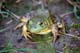 MALE BULLFROG, BASS LAKE, MACTIER