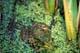 BULLFROG IN DUCKWEED, NIAGARA FALLS