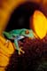 RED-EYED TREE FROG ON FLOWER, ST. CATHARINES