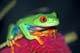 RED-EYED TREE FROG, ST. CATHARINES