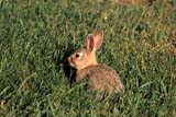 ANI COT MOU  AB     1005905D  MOUNTAIN COTTONTAIL RABBIT IN GRASS(SYLVILAGUS NUTTALLI)DINOSAUR PROV PK            07/05© CLARENCE W. NORRIS      ALL RIGHTS RESERVEDAB_;ALBERTA;ANIMALS;BADLANDS;COTTONTAILS;DINOSAUR_PP;MOUNTAIN_COTTONTAIL;PLAINS;PP_;PRAIRIES;RABBITS;SUMMERLONE PINE PHOTO               (306) 683-0889