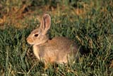 ANI COT MOU  AB     1005916D MOUNTAIN COTTONTAIL RABBIT IN GRASS(SYLVILAGUS NUTTALLI)DINOSAUR PROV PK            07/05© CLARENCE W. NORRIS      ALL RIGHTS RESERVEDAB_;ALBERTA;ANIMALS;COTTONTAILS;DINOSAUR_PP;MOUNTAIN_COTTONTAIL;PP_;PLAINS;PRAIRIES;RABBITS;SUMMERLONE PINE PHOTO               (306) 683-0889