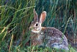 ANI COT MOU  AB     1005918D  MOUNTAIN COTTONTAIL RABBIT IN GRASS(SYLVILAGUS NUTTALLI)DINOSAUR PROV PK            07/05© CLARENCE W. NORRIS      ALL RIGHTS RESERVEDAB_;ALBERTA;ANIMALS;BADLANDS;COTTONTAILS;DINOSAUR_PP;MOUNTAIN_COTTONTAIL;PLAINS;PP_;PRAIRIES;RABBITS;SUMMERLONE PINE PHOTO               (306) 683-0889