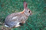ANI COT MOU  AB     1006103D  MOUNTAIN COTTONTAIL RABBIT IN GRASS(SYLVILAGUS NUTTALLI)WRITING-ON-STONE PROV PK    07/06© CLARENCE W. NORRIS            ALL RIGHTS RESERVEDAB_;ALBERTA;ANIMALS;COTTONTAILS;MOUNTAIN_COTTONTAIL;PLAINS;PP_;PRAIRIES;RABBITS;SUMMER;WRITING_ON_STONE_PPLONE PINE PHOTO                     (306) 683-0889