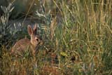 ANI COT MOU  AB   WS12075D   MOUNTAIN COTTONTAIL IN GRASSDINOSAUR PROV. PK              07/..© WAYNE SHIELS                  ALL RIGHTS RESERVEDAB_;ALBERTA;ANIMALS;BADLANDS;COTTONTAILS;DINOSAUR_PP;MOUNTAIN_COTTONTAIL;PP_;PLAINS;PRAIRIES;RABBITS;SCENES;SUMMERLONE PINE PHOTO              (306) 683-0889
