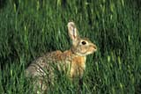 ANI COT MOU  AB  REH1000662D    MOUNTAIN COTTONTAIL IN GREEN GRASSMEDICINE HAT                     06/..© ROYCE HOPKINS               ALL RIGHTS RESERVEDAB_;ALBERTA;ANIMALS;COTTONTAILS;MEDICINE_HAT;MOUNTAIN_COTTONTAIL;PLAINS;PRAIRIES;RABBITS;SUMMERLONE PINE PHOTO              (306) 683-0889