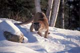 ANI COU EAS  ON  MTT1000018DEASTERN COUGAR IN SNOWMASSEY                              01/..© MIKE TOBIN                     ALL RIGHTS RESERVEDANIMALS;CENTRAL;COUGARS;EASTERN_COUGAR;MASSEY;ON_;ONTARIO;SNOW;WINTERLONE PINE PHOTO              (306) 683-0889
