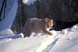 ANI COU EAS  ON  MTT1000019DEASTERN COUGAR IN SNOWMASSEY                              01/..© MIKE TOBIN                     ALL RIGHTS RESERVEDANIMALS;CENTRAL;COUGARS;EASTERN_COUGAR;MASSEY;ON_;ONTARIO;SNOW;WINTERLONE PINE PHOTO              (306) 683-0889