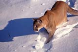 ANI COU EAS  ON  MTT1000093DEASTERN COUGAR IN WINTERMASSEY                              01/..© MIKE TOBIN                     ALL RIGHTS RESERVEDANIMALS;CENTRAL;COUGARS;EASTERN_COUGAR;MASSEY;ON_;ONTARIO;SHIELD;SNOW;WINTERLONE PINE PHOTO              (306) 683-0889