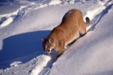 ANI COU EAS  ON  MTT1000094DEASTERN COUGAR IN WINTERMASSEY                              01/..© MIKE TOBIN                     ALL RIGHTS RESERVEDANIMALS;CENTRAL;COUGARS;EASTERN_COUGAR;MASSEY;ON_;ONTARIO;SNOW;WINTERLONE PINE PHOTO              (306) 683-0889