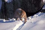 ANI COU EAS  ON  MTT1000096DEASTERN COUGAR IN WINTERMASSEY                              01/..© MIKE TOBIN                     ALL RIGHTS RESERVEDANIMALS;CENTRAL;COUGARS;EASTERN_COUGAR;MASSEY;ON_;ONTARIO;SNOW;WINTERLONE PINE PHOTO              (306) 683-0889