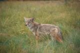 ANI COY MIS  AB  PNB2000218D     COYOTE IN GRASSBANFF NATIONAL PARK         ../..© PAUL BROWNE                 ALL RIGHTS RESERVEDAB_;ALBERTA;ALPINE;ANIMALS;BANFF_NP;CORDILLERA;COYOTES;NP_;SUMMERLONE PINE PHOTO              (306) 683-0889