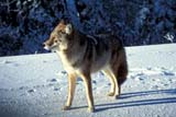ANI COY MIS  MB   WS10002D      COYOTE IN WINTER (CANIS LATRANS)DUCK MOUNTAIN PROV. PK    ../..© WAYNE SHIELS                 ALL RIGHTS RESERVEDANIMALS;COYOTES;DUCK_MOUNTAIN_PP;MANITOBA;MB_;PLAINS;PLATEAU;PP_;PRAIRIES;SNOW;WINTERLONE PINE PHOTO              (306) 683-0889