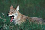 ANI COY MIS  MB  PNB1000521D   COYOTE IN SUMMER GRASS (CANIS LATRANS)RIDING MOUNTAIN NAT. PK   ../..© PAUL BROWNE                 ALL RIGHTS RESERVEDANIMALS;COYOTES;MANITOBA;MB_;NP_;PLAINS;PLATEAU;PRAIRIES;RIDING_MOUNTAIN_NP;SUMMER LONE PINE PHOTO              (306) 683-0889