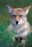 ANI COY MIS  MB  PNB1000522D  VT  COYOTE IN SUMMER GRASS (CANIS LATRANS)RIDING MOUNTAIN NAT. PK   ../..© PAUL BROWNE                 ALL RIGHTS RESERVEDANIMALS;BULLETINS;COYOTES;MANITOBA;MB_;NP_;PLAINS;PLATEAU;PRAIRIES;RIDING_MOUNTAIN_NP;SUMMER;VTLLONE PINE PHOTO              (306) 683-0889