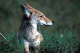 ANI COY MIS  MB  PNB1000207D   COYOTE IN SUMMER GRASS (CANIS LATRANS)RIDING MOUNTAIN NAT. PK   ../..© PAUL BROWNE                ALL RIGHTS RESERVEDANIMALS;COYOTES;MANITOBA;MB_;NP_;PLAINS;PLATEAU;PRAIRIES;RIDING_MOUNTAIN_NP;SUMMER LONE PINE PHOTO              (306) 683-0889