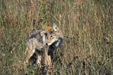 ANI COY MIS  MB  PNB1000225D   COYOTE IN AUTUMN GRASS (CANIS LATRANS)RIDING MOUNTAIN NAT. PK   ../..© PAUL BROWNE                 ALL RIGHTS RESERVEDANIMALS;AUTUMN;COYOTES;MANITOBA;MB_;NP_;PLAINS;PLATEAU;PRAIRIES;RIDING_MOUNTAIN_NPLONE PINE PHOTO              (306) 683-0889