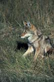ANI COY MIS  MB  PNB2002304D  VTCOYOTE IN GRASSRIDING MOUNTAIN NAT. PK   ../..© PAUL BROWNE                ALL RIGHTS RESERVEDANIMALS;COYOTES;MANITOBA;MB_;NP_;PLAINS;PLATEAU;PRAIRIES;RIDING_MOUNTAIN_NP;SUMMER;VTL LONE PINE PHOTO              (306) 683-0889