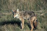 ANI COY MIS  MB  PNB2002305DCOYOTE IN GRASSRIDING MOUNTAIN NAT. PK   ../..© PAUL BROWNE                 ALL RIGHTS RESERVEDANIMALS;COYOTES;MANITOBA;MB_;NP_;PLAINS;PLATEAU;PRAIRIES;RIDING_MOUNTAIN_NP;SUMMER LONE PINE PHOTO              (306) 683-0889