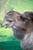 ANI CAM MIS  ON  LDL1000181D  VTHEAD VIEW OF LAUGHING CAMEL (CAMELUS DROMEDARIUS)OSHAWA                               07/..© L. DIANE LACKIE                 ALL RIGHTS RESERVEDANIMALS;BULLETINS;CAMELS;CENTRAL;HUMOUR;ON_;ONTARIO;OSHAWA;SUMMER;VTL;ZOOSLONE PINE PHOTO              (306) 683-0889