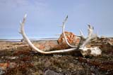 SEA SUM SCE  NU  MTT1420DX  CARIBOU ANTLERS CLOSE UPCAMBRIDGE BAY                  07..© MIKE TOBIN                     ALL RIGHTS RESERVEDANIMALS;ANTLERS;ARCTIC;CAMBRIDGE_BAY;CARIBOU;NU_;NUNAVUT;SKULLS;SUMMER;TUNDRALONE PINE PHOTO              (306) 683-0889