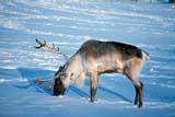 ANI CAR MIS  SK   WS10063DcCARIBOU FEEDING IN SNOWSASKATOON                        ....© WAYNE SHIELS                 ALL RIGHTS RESERVEDANIMALS;ANTLERS;ARCTIC;CARIBOU;PLAINS;PRAIRIES;SASKATCHEWAN;SASKATOON;SK_;SNOW;WINTER   LONE PINE PHOTO               (306) 683-0889