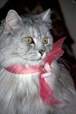 ANI CAT MIS  ON  LDL1000221D  VT  SILVER PERSIAN IN ROSE CHIFFON BOWPORT PERRY                         11/..© L. DIANE LACKIE                ALL RIGHTS RESERVEDANIMALS;BULLETINS;CATS;CENTRAL;ON_;ONTARIO;PORT_PERRY;RIBBONS;SILVER_PERSIAN;VTL;WINTERLONE PINE PHOTO              (306) 683-0889