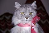 ANI CAT MIS  ON  LDL1000272D SILVER PERSIAN IN ROSE CHIFFON BOWPORT PERRY                         11/..© L. DIANE LACKIE                ALL RIGHTS RESERVEDANIMALS;CATS;CENTRAL;ON_;ONTARIO;PORT_PERRY;RIBBONS;SILVER_PERSIAN;WINTERLONE PINE PHOTO              (306) 683-0889