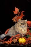 ANI CAT MIS  ON  LDL1000349D  VTGOLDEN CHINCHILLA PERSIAN CAT, GOURD AND AUTUMN LEAVESPORT PERRY                         10/..© L. DIANE LACKIE                ALL RIGHTS RESERVEDANIMALS;AUTUMN;BULLETINS;CATS;CENTRAL;CHINCHILLA_PERSIAN_CAT;GOURDS;LEAVES;ON_;ONTARIO;PORT_PERRY;VTLLONE PINE PHOTO              (306) 683-0889
