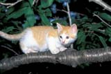 ANI CAT MIS  ON  LDL1000355DORANGE AND WHITE TABBY KITTEN ON CHERRY TREE BRANCHPORT PERRY                         07/..© L. DIANE LACKIE                ALL RIGHTS RESERVEDANIMALS;CATS;CENTRAL;KITTENS;ON_;ONTARIO;PORT_PERRY;SUMMER;TREESLONE PINE PHOTO              (306) 683-0889