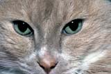 ANI CAT MIS  MB  PNB1000492DHOUSE CAT - CLOSE- UPWINNIPEG                           ../..© PAUL BROWNE                ALL RIGHTS RESERVEDANIMALS;CATS;CLOSEUP;EYES;MANITOBA;MB_;PLAINS;PRAIRIES;WINNIPEGLONE PINE PHOTO              (306) 683-0889