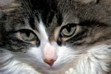 ANI CAT MIS  MB  PNB1000493DHOUSECAT - CLOSEUPWINNIPEG                            ../..© PAUL BROWNE                ALL RIGHTS RESERVEDANIMALS;CATS;CLOSEUP;EYES;MANITOBA;MB_;PLAINS;PRAIRIES;WINNIPEGLONE PINE PHOTO              (306) 683-0889