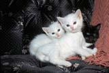 ANI CAT MIS  SK     0610115DKITTENS PLAYING ON COUCH SASKATOON                       10/..© CLARENCE W. NORRIS      ALL RIGHTS RESERVEDANIMALS;AUTUMN;CATS;KITTENS;PLAINS;PRAIRIES;SASKATCHEWAN;SASKATOON;SK_LONE PINE PHOTO              (306) 683-0889
