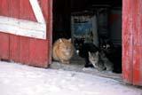 ANI CAT MIS  SK     2113602DFARM CATS SITTING IN DOOR TO BARN IN WINTERNEUHORST                          11/30© CLARENCE W. NORRIS      ALL RIGHTS RESERVEDANIMALS;BARNS;CATS;FARMING;NEUHORST;PLAINS;PRAIRIES;RURAL;SASKATCHEWAN;SCENES;SK_;SNOW;WINTERLONE PINE PHOTO              (306) 683-0889