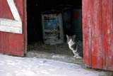 ANI CAT MIS  SK     2113603DFARM CAT SITTING IN DOOR TO BARN IN WINTERNEUHORST                         11/30© CLARENCE W. NORRIS      ALL RIGHTS RESERVEDANIMALS;BARNS;CATS;FARMING;NEUHORST;PLAINS;PRAIRIES;RURAL;SASKATCHEWAN;SCENES;SK_;WINTERLONE PINE PHOTO              (306) 683-0889