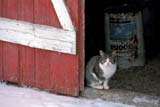 ANI CAT MIS  SK     2113606DFARM CAT SITTING IN DOOR TO BARN IN WINTERNEUHORST                         11/30© CLARENCE W. NORRIS      ALL RIGHTS RESERVEDANIMALS;BARNS;CATS;FARMING;NEUHORST;PLAINS;PRAIRIES;RURAL;SASKATCHEWAN;SCENES;SK_;WINTERLONE PINE PHOTO              (306) 683-0889