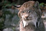 ANI BOB MIS  ON  BMM1000011D  BOBCAT (LYNX RUFUS)ONTARIO                            ../..© BEV McMULLEN                ALL RIGHTS RESERVEDANIMALS;BOBCATS;CENTRAL;ON_;ONTARIOLONE PINE PHOTO              (306) 683-0889