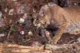 ANI BOB MIS  ON  BMM1000012D  BOBCAT (LYNX RUFUS)ONTARIO                             ../..© BEV McMULLEN                ALL RIGHTS RESERVEDANIMALS;BOBCATS;CENTRAL;ON_;ONTARIOLONE PINE PHOTO              (306) 683-0889