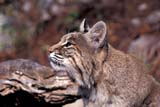 ANI BOB MIS  ON  BMM1000013DBOBCAT(LYNX RUFUS)ONTARIO                             ..© BEV MCMULLEN                 ALL RIGHTS RESERVEDANIMALS;BOBCATS;CENTRAL;MASSEY;ON_;ONTARIO;SUMMER;ZOOSLONE PINE PHOTO              (306) 683-0889